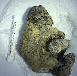 ERSTMALS IN EUROPA: Vier rund 12.000 Jahre alte Eis-Babys im NHM Wien