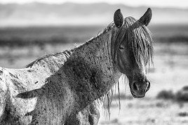 """""""Mustangs. Fotografien von Manfred Baumann"""" (22. November 2017 – 11. Februar 2018) im Naturhistorischen Museum Wien"""
