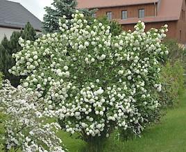 Der Schneeball ist die Gartenpflanze des Jahres!