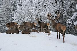 Schneemassen fordern Wild und Jäger in Oberösterreich massiv
