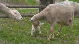 Trendiges SPAR-Schafmilcheis ist in aller Munde