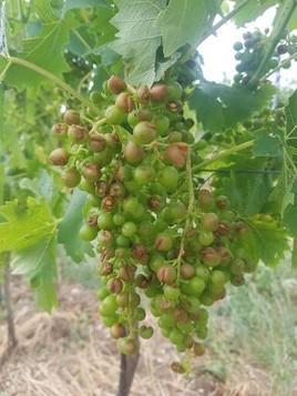 Hagelunwetter mit Schäden an Wiens Wein- und Gemüsekulturen